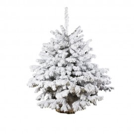 White flocked Nordmann fir -125 cm